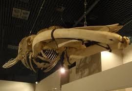 ツノシマクジラ